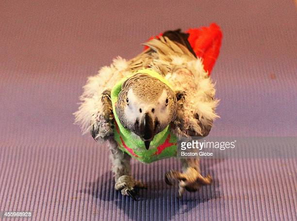 Walter a 60yearold African Grey walked on a yoga mat in the Quincy home of Stephen Coady and James Hahn Friday August 29 2014