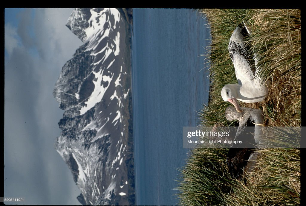 Wandering Albatross and Antarctic Giant Petrel Nest Along Bay of Isles Coast