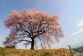 Wani_Zuka Sakura