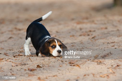 I wanna play ... this 8 weeks young Beagle said!