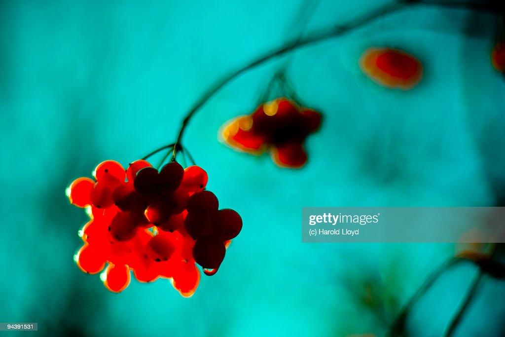 Wanton red berries, scathing cyan sky : Stock Photo