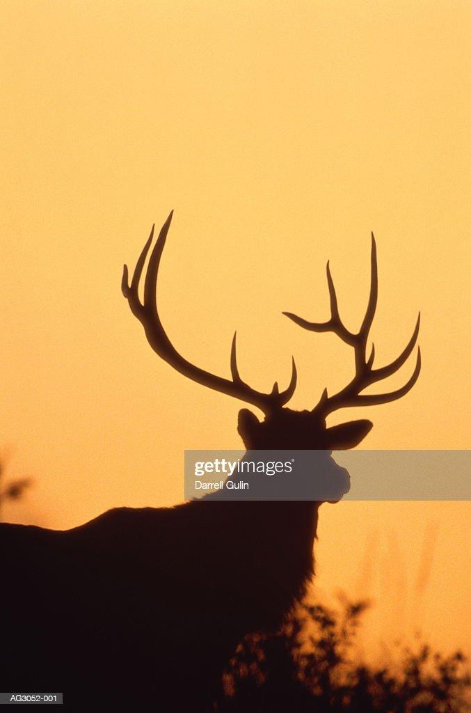 Wapiti stag (Cervus canadensis), close-up, Montana, USA : Stock Photo