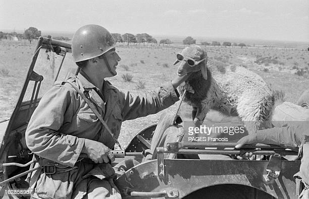 Palestro Massacre Le 23 mai 1956 un soldat français tient la tête d'un mouton avec des lunettes debout sur une voiture jeep près de Beni Amrane entre...
