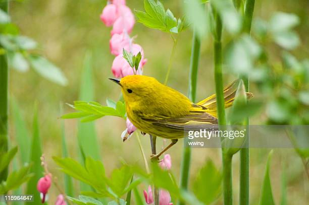 Warbler on a Bleeding Heart