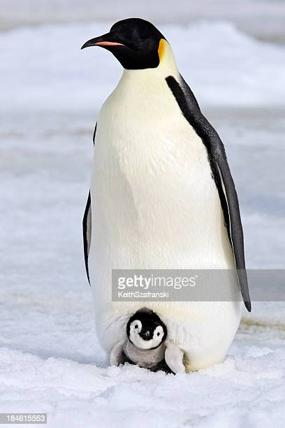 Warm and Cozy Emperor Penguin