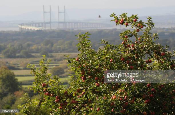 Warm sunshine bathes the scene of the Second Severn Crossing looking from England towards Wales and in the foreground cider apples await harvesting...
