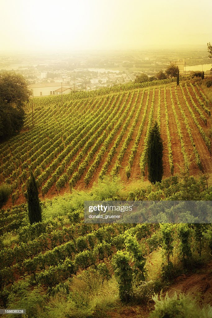 Warm Vineyard