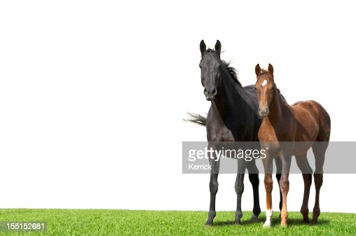 Warmblood mare and foal isolated on white