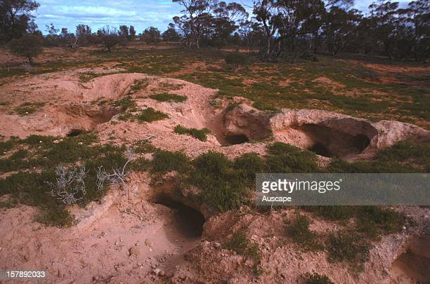 Warren of Common wombats a major warren with several entrances Gawler Ranges South Australia