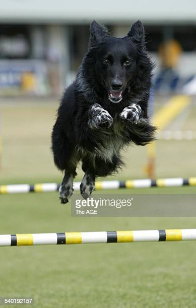 Warrnambool Dog club agility and jumping trials held at Harris Street Reserve with over 700 entries Scruffie Border Collie from Bendigo 4 November...