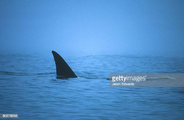 An endangered Southern Right Whale tail fluke slices a misty ocean.