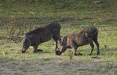Warthog (Phacochoerus aethiopicus) eating grass
