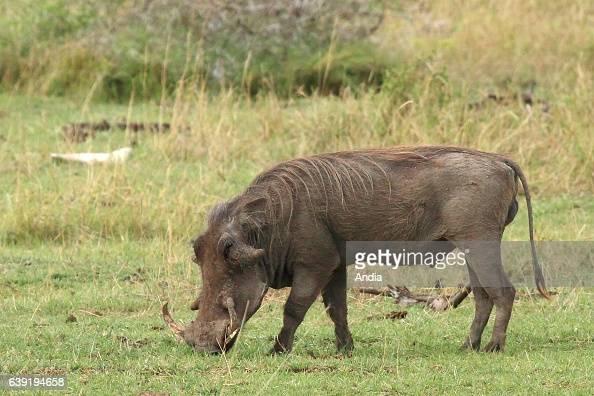 Warthog in the Lake Manyara National Park Tanzania