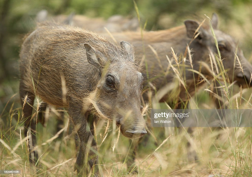 A warthog is pictured in Kruger National Park on February 6, 2013 in Skukuza, South Africa.