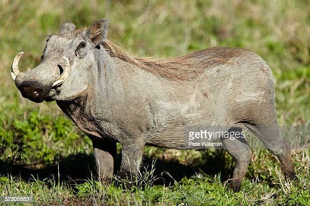 Warthog -Phacochoerus africanus-, Ngorongoro Crater, Ngorongoro Conservation Area, Tanzania, Africa