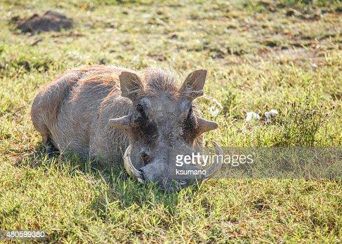 Warthog : Stock Photo