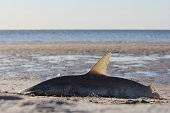 A beached hammerhead shark lies dead on sand at low tide.