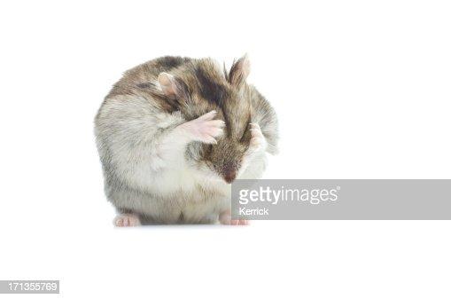 washing djungarian hamster