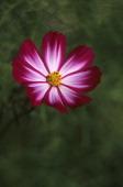 USA Washington Bellevue Cosmos Flower Closeup Picotee Cosmos Bipinnatus