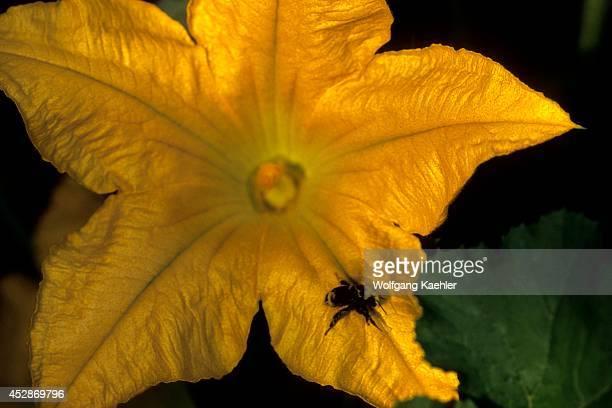 Washington Bellevue Zucchini Flower Closeup Bumblebee