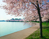 Washington DC cherry bloosoms, curved walkway and tidal basin