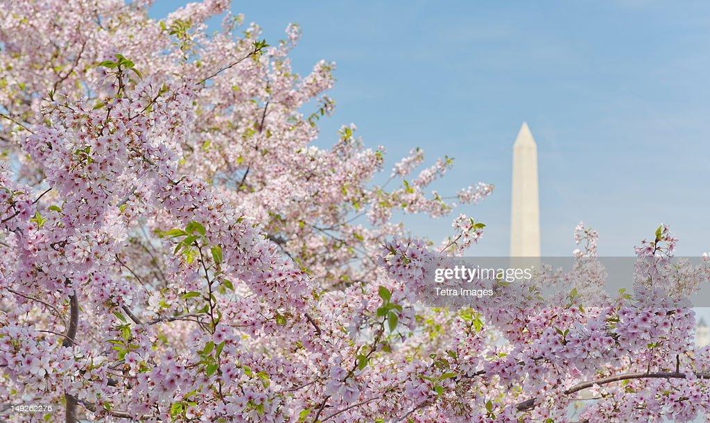 USA, Washington DC, Cherry blossom with Washington Monument in background