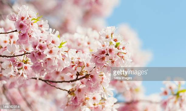 USA, Washington DC, Cherry tree in blossom