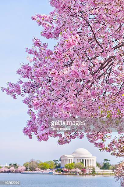 USA, Washington DC, Cherry tree in blossom with Jefferson Memorial in background