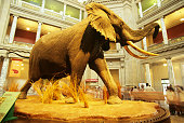 USA, Washington DC, Natural History Museum, giant elephant display