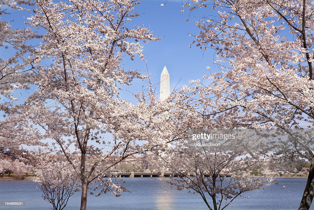 washington monument and cherry trees spring
