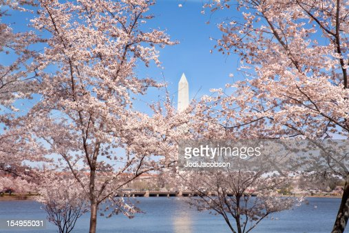 washington monument and cherry trees spring