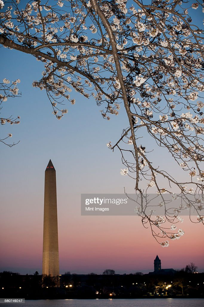 Washington Monument at dawn with cherry blossom tree in the foreground.