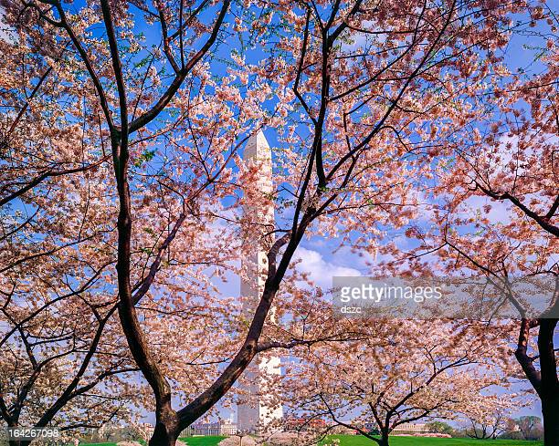 Washington Monument , cherry blossoms, DC. USA, beautiful spring day