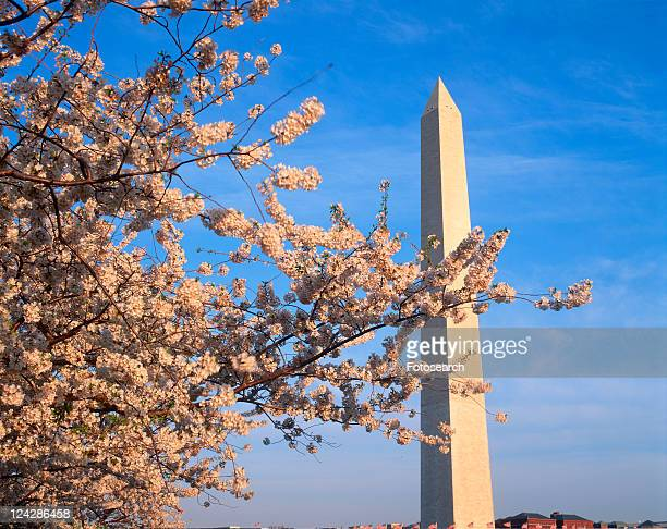 Washington Monument with cherry blossoms in the spring, Washington D.C.