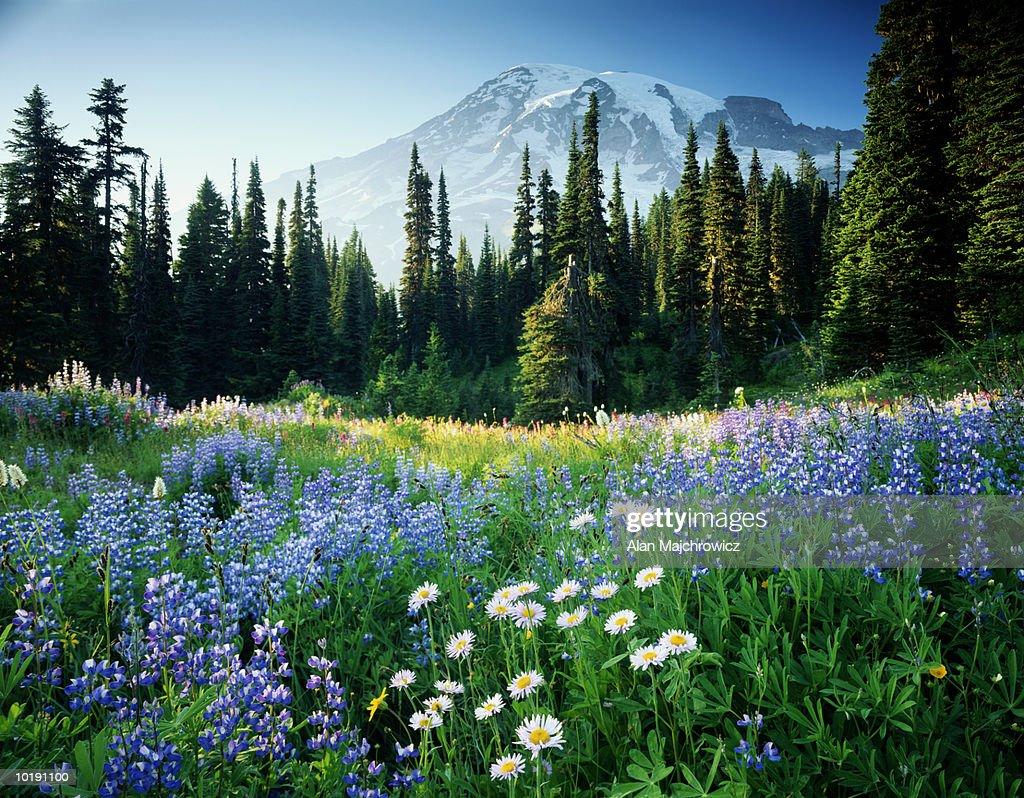 USA, Washington, Mount Rainier National Park, Mt. Rainier and flower m : Stock Photo