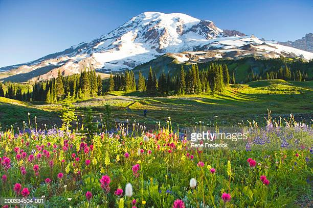 USA, Washington, Mt. Rainier National Park, wildflowers and hiker