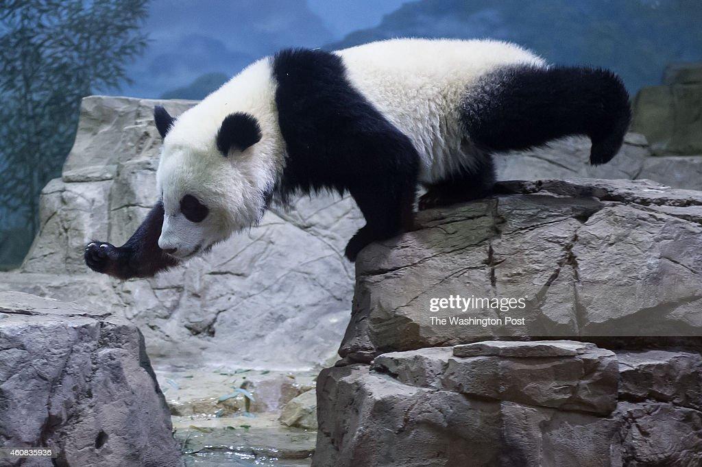 Washington National Zoo's yearold giant panda cub Bao Bao in her enclosure on December 15 2014 in Washington DC