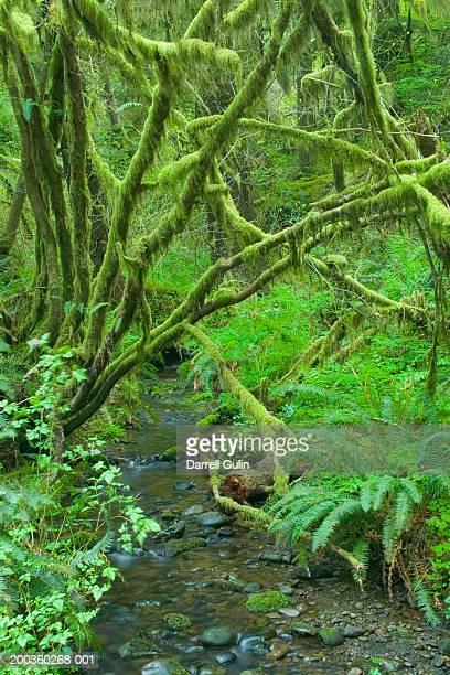 USA, Washington, Olympic National Park, stream in Hoh Rainforest