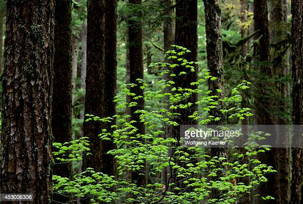 USA Washington Olympic National Park Vine Maple And Oldgrowth Forest