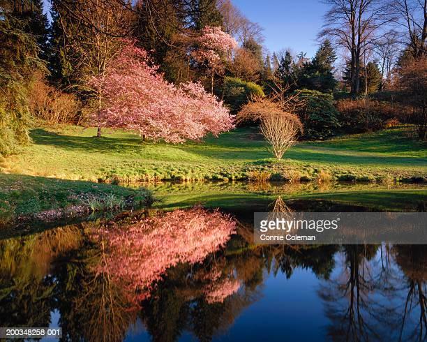 USA, Washington, Seattle, cherry tree reflecting on pond