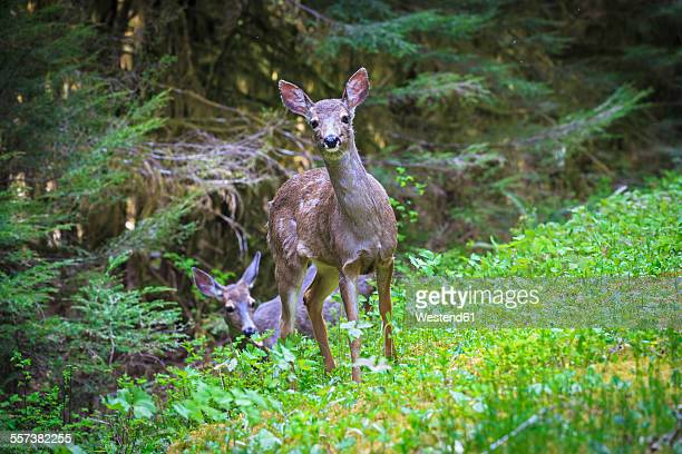 USA, Washington State, Olympic Peninsula, Olympic National Park, Mule deers, Odocoileus hemionus