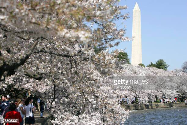 The 95th annual Cherry Blossom Festival is in full bloom and runs until April 15th along East and West Potomac Parks 03 April 2007 in Washington DC...