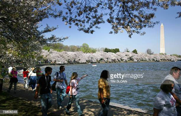 The 95th annual Cherry Blossom Festival is in full bloom 03 April 2007 and runs until 15 April along the East and West Potomac Parks in Washington DC...