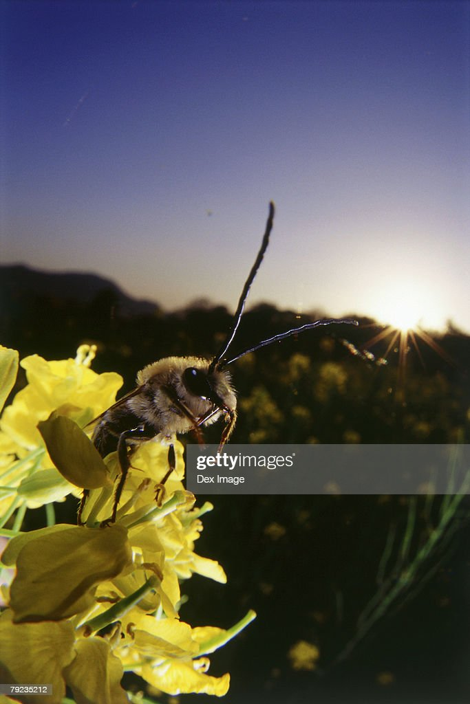 Wasp flying off from yellow plant, close up : Stock Photo