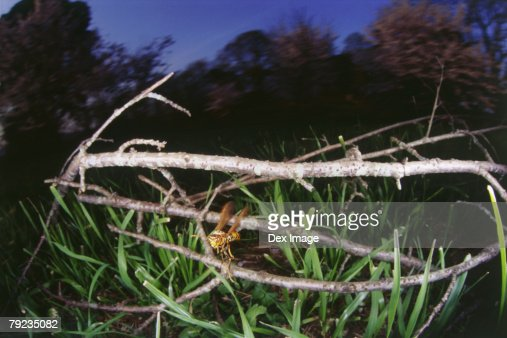 Wasp in flight around branches and grass : Stock Photo