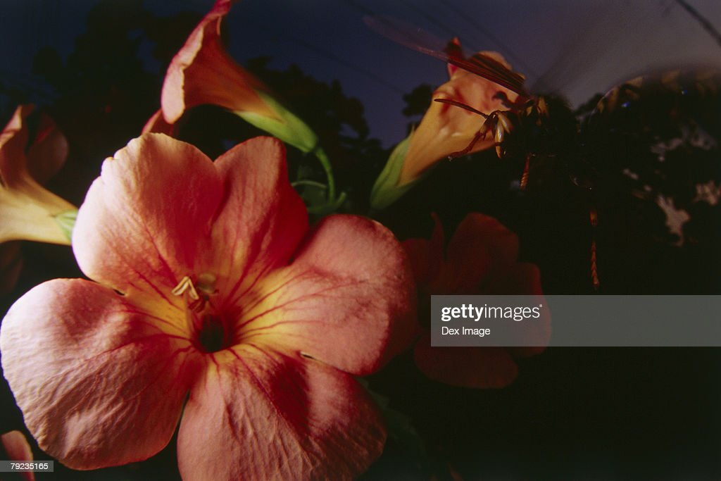 Wasp landing on Hibiscus flower, close up : Stock Photo