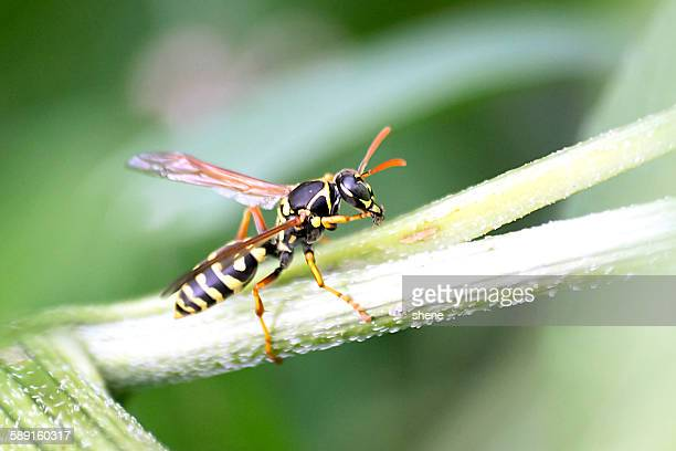 Wasp on the stem