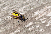 wasp or gyellow jacket on weathered wood looking for material for the nest, the wasp plague in summer is dangerous for allergy sufferers, copy space