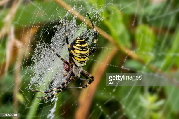 Wasp spider feeding on caught insect in spiral orb web