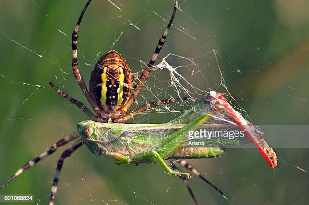 Wasp spider female on spiral orb web wrapping its caught grasshopper prey in silk